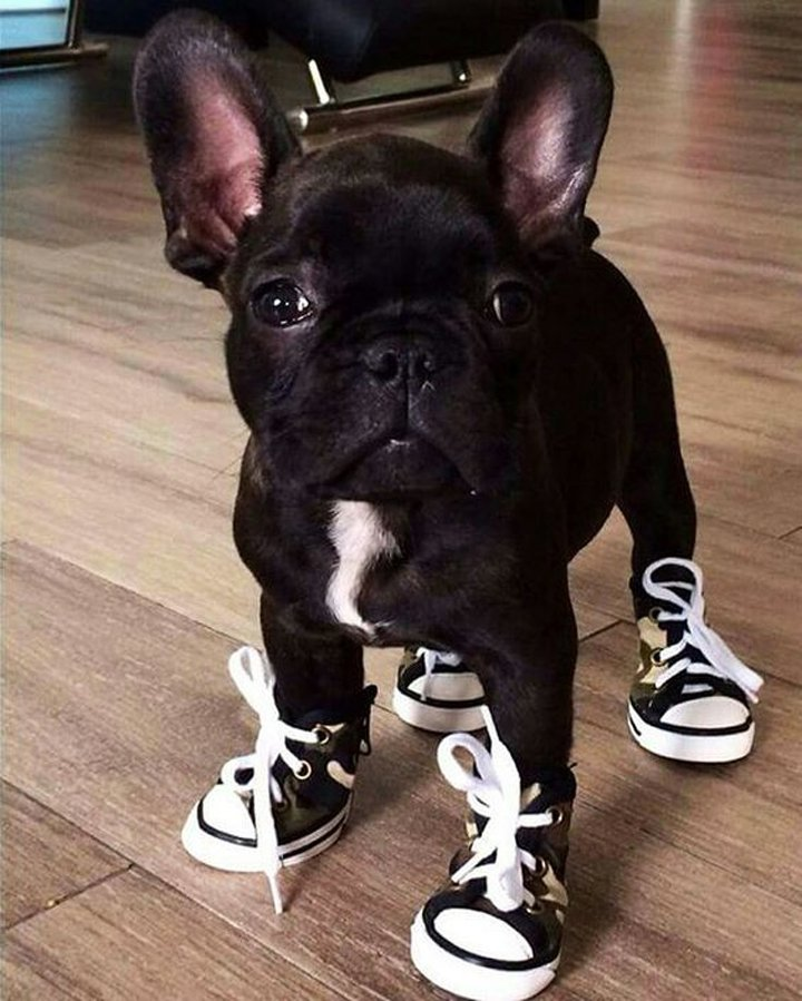 French Bulldog Puppy so funny