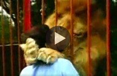 Lion kisses rescuer