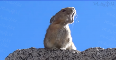 Singing gopher